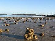 Bioturbación por los gusanos de sedimentos de arena fina de piso intermareal (Irlanda).